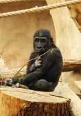 Young Gorilla Living In Captivity Sitting On The Stump And Eating Some Twigs poster