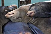 Sleeping Sealions