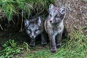 Portrait Of Two Young Playful Arctic Fox Cub In Iceland poster