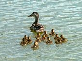 Mother Duck And Chicks