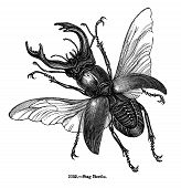 Antique Stag Beetle Engraving Isolated on White