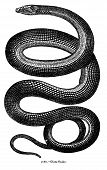 Antique Snake Engraving Isolated on White