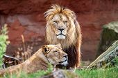 Barbary Lion And Lioness. The Barbary Lion Was Also Called North African Lion, Berber Lion And Atlas poster