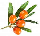image of sea-buckthorn  - sea buckthorn branch isolated on the white - JPG