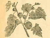 Twig of fig - old illustration by unknown artist from Botanika Szkolna na Klasy Nizsze, author Jozef Rostafinski, published by W.L. Anczyc, Krakow and Warsaw, 1911