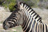 Juvenile Zebra