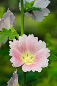 Hollyhock Flower.