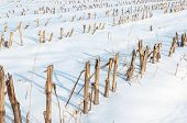 pic of zea  - Detailed view at harvested fodder maize in a snowy Dutch landscape - JPG