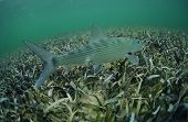 picture of bonefish  - In its natural habitat a bonefish is swimming in the grass flats ocean - JPG
