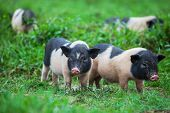 stock photo of pot-bellied  - vietnamese pig - JPG