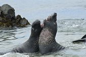 Elephant Seals Sparing On The Beach