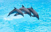 Tres delfines de nariz de botella, Tursiops truncatus, saltando en formación