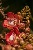 foto of cannonball-flower  - Cannonball Tree seen in Chiang Mai, Thailand