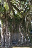 Ficus Tree Hugging Shelter In Sierpe