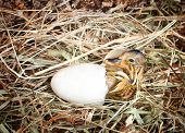 Hatching little mallard duckling from its egg