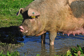 foto of wallow  - Domestic sow wallowing in a mud puddle Westland New Zealand - JPG