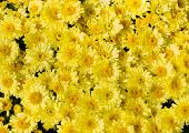 Yellow Flower Bed Of Asters