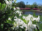 White Spring Hibiscus