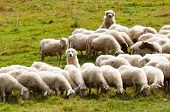foto of sheep-dog  - two dogs shepherd guarding a flock of sheep - JPG