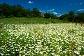 Wide fields with chamomile in France