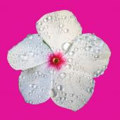 White Flower With Dew On Hot Pink