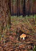 Fly Agaric In The Forest Vertical