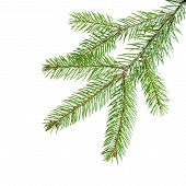 Green Fir Branch For Decoration