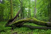 Deciduous Stand Of Bialowieza Forest