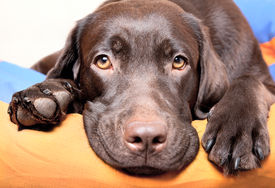 stock photo of labrador  - Chocolate Labrador Retriever dog lies and looks sad eyes - JPG