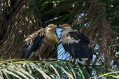 Two Palm-nut Vultures Facing Each Other In A Palm Tree