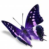 foto of flying-insect  - Purple Butterfly flying isolated on white background - JPG