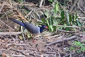 Coral-billed Ground-cuckoo Bird