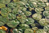 Background of green lily pads