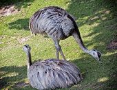 Two Emu Birds On The Grass (dromaius Novaehollandiae)
