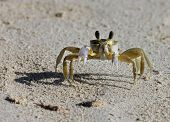 A tropical yellow Caribbean crab on a beach