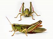 Front and side view of grasshopper