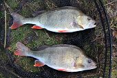 Two large Perch.