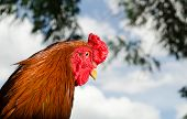 stock photo of fighting-rooster  - A head of chicken is showing on background - JPG
