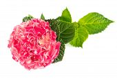Pink Hortensia Blossom With Green Leaves
