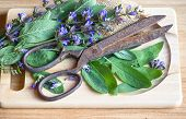 Fresh Sage Leaves And Blossoms With Vintage Rusty Scissors