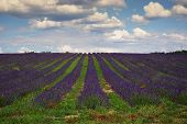Southern France, Lavender Field In Provence