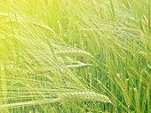 Wheat Field (triticum Spp.)
