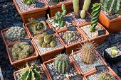 Various Cacti In Pots