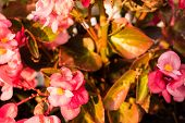 picture of begonias  - Bush of begonia flowers succulent plant with green and brown tender leaves brtanches and trunk - JPG