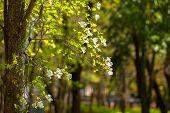 Flowers of dogwood (Cornus florida)
