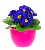 Blue Primulas In Pink Pot Isolated On White Background