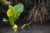 stock photo of skunks  - Western Skunk cabbage in stream, tributary of the Bogachiel river, near Olympic National Park, Washington