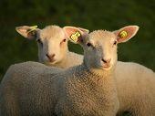 Careful Lambs