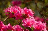 foto of azalea  - Flowering pink azalea in park  - JPG