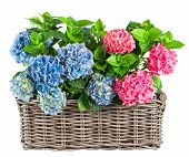 Pink And Blue Hortensia Plants In Basket